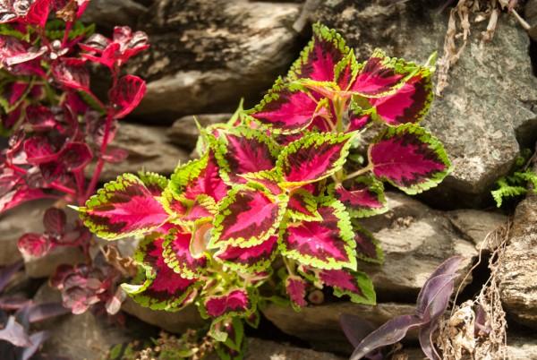 Annapurna Flowers -June 19, 2014-1