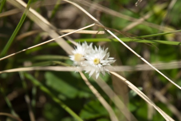 Annapurna Flowers -June 24, 2014-10