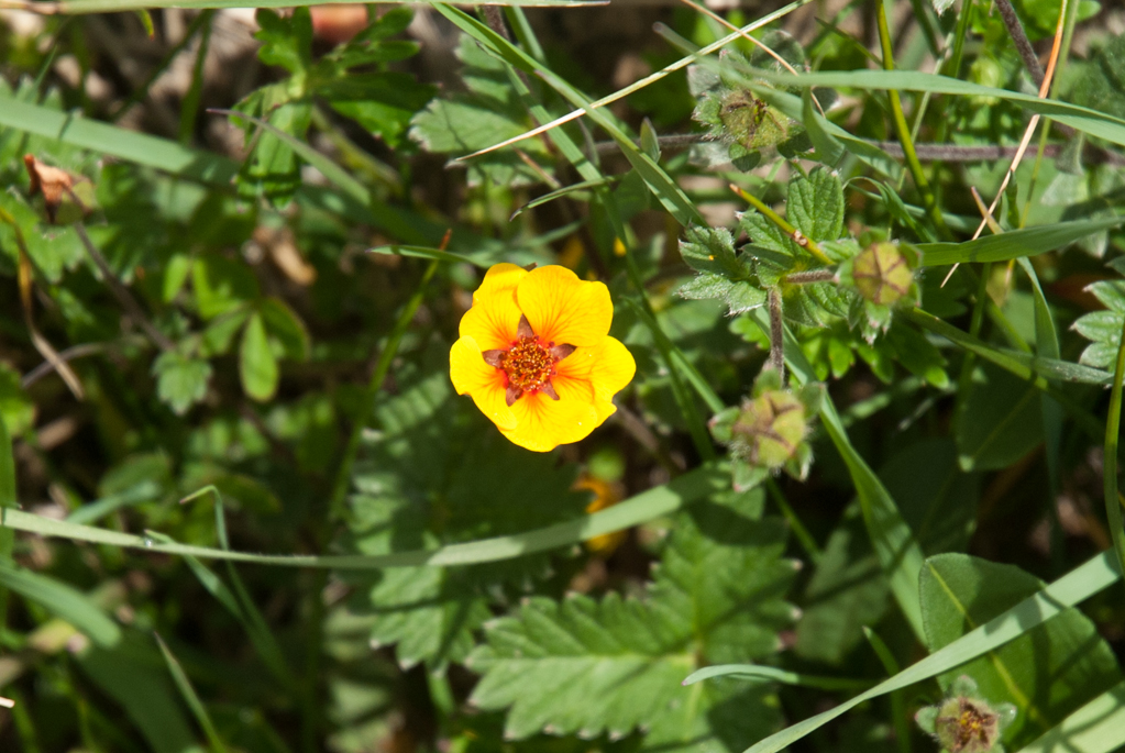 Annapurna Flowers -June 24, 2014-11