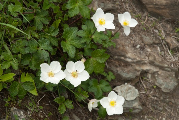 Annapurna Flowers -June 24, 2014-16