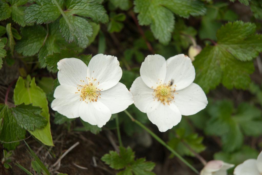 Annapurna Flowers -June 24, 2014-17