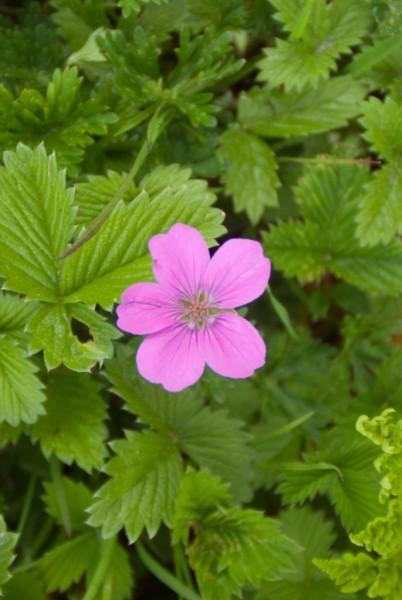 Annapurna Flowers -June 24, 2014-3