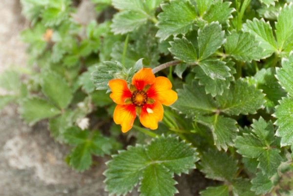 Annapurna Flowers -June 24, 2014-4