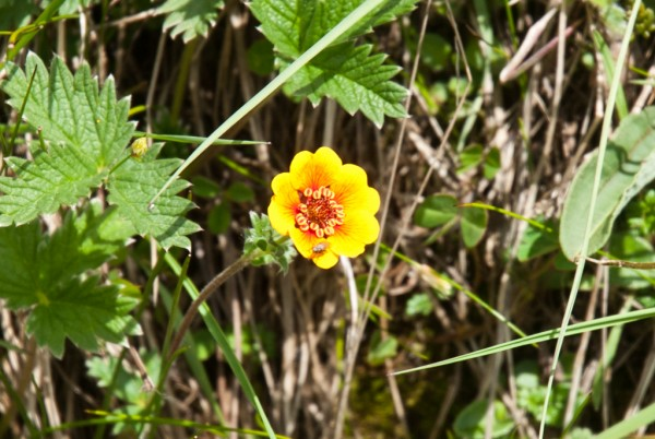 Annapurna Flowers -June 24, 2014-8