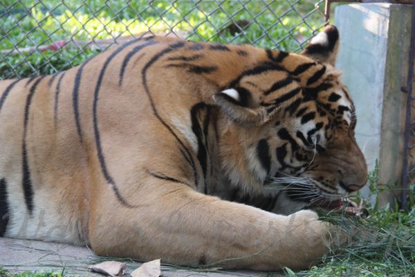 Tigers 600 November 25, 2014 - 23