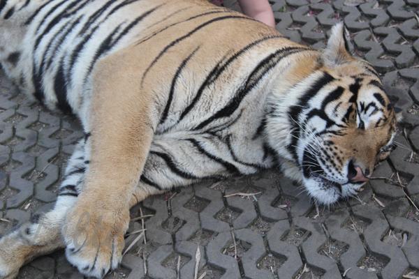 Tigers 600 November 25, 2014 - 24
