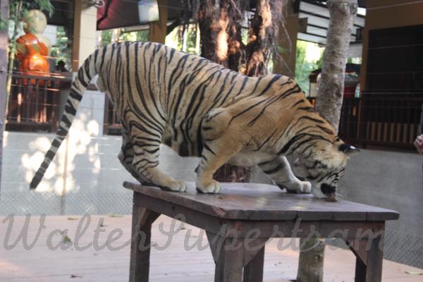 Tigers 600 November 25, 2014 - 25