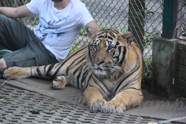 Tigers 600 November 25, 2014 - 29