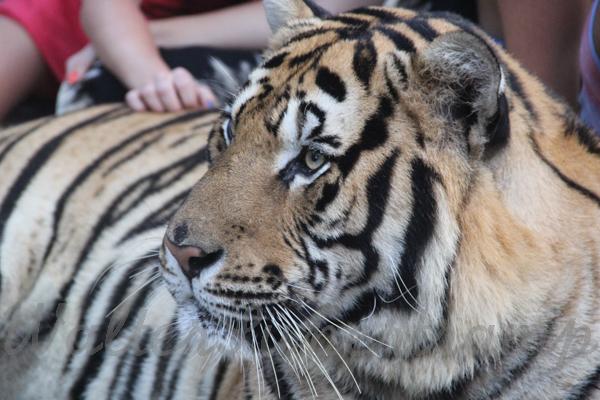 Tigers 600 November 25, 2014 - 30