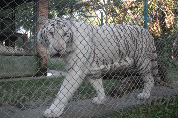 Tigers 600 November 25, 2014 - 33