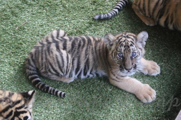 Tigers 600 November 25, 2014 - 34