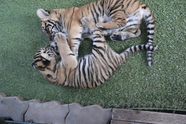 Tigers 600 November 25, 2014 - 35