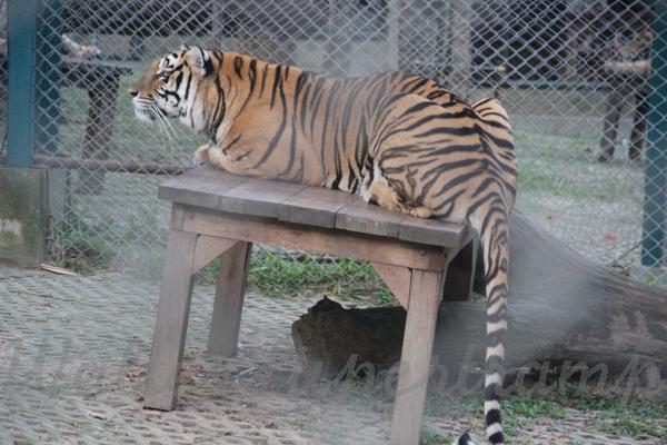 Tigers 600 November 25, 2014 - 40