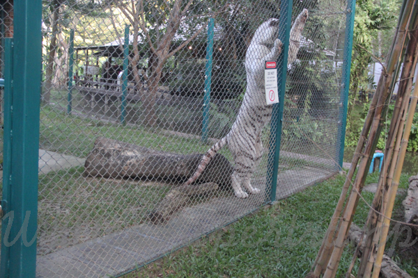 Tigers 600 November 25, 2014 - 41